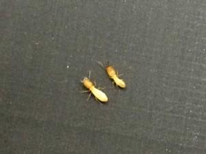 左:イエシロアリの兵蟻  右:ヤマトシロアリの兵蟻