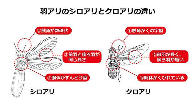 羽アリのシロアリとクロアリの相違点